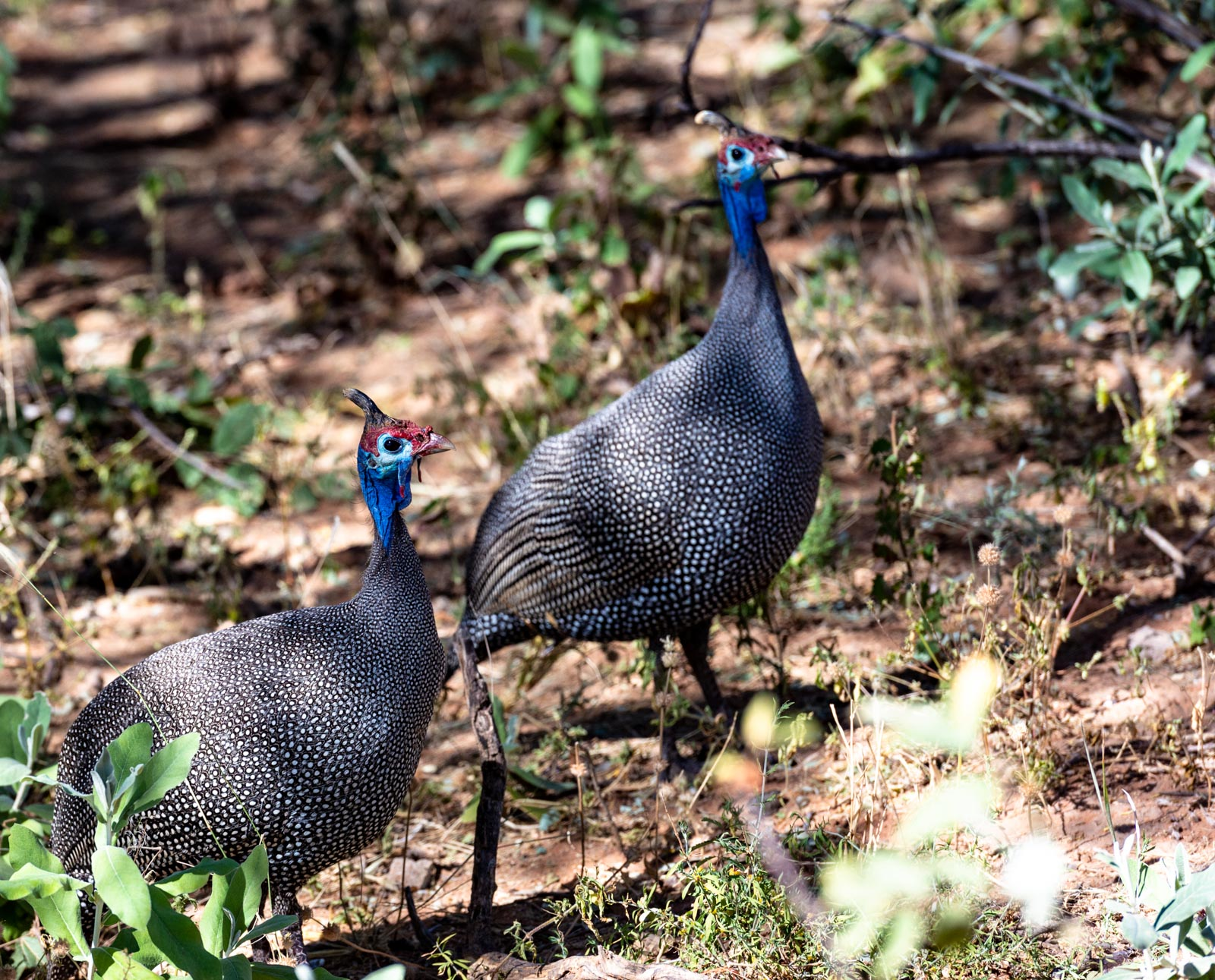 Namibia_okonjima pair of helmeted guinea fowl-0121254.jpg