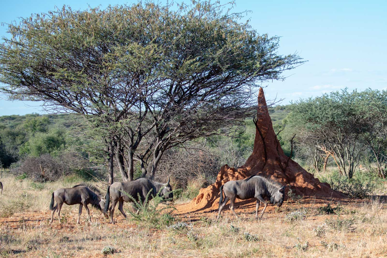 Namibia_okonjima wildebeest and termite mound-0121329.jpg