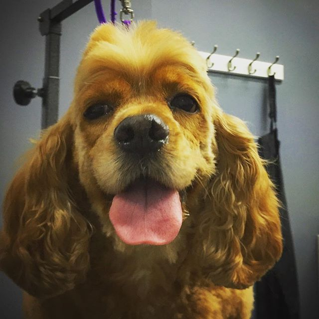 Million dollar smile ! #doggiestylesbk #bestofbrooklyn #doggyspaday #cockerspanielsofinstagram #doggrooming