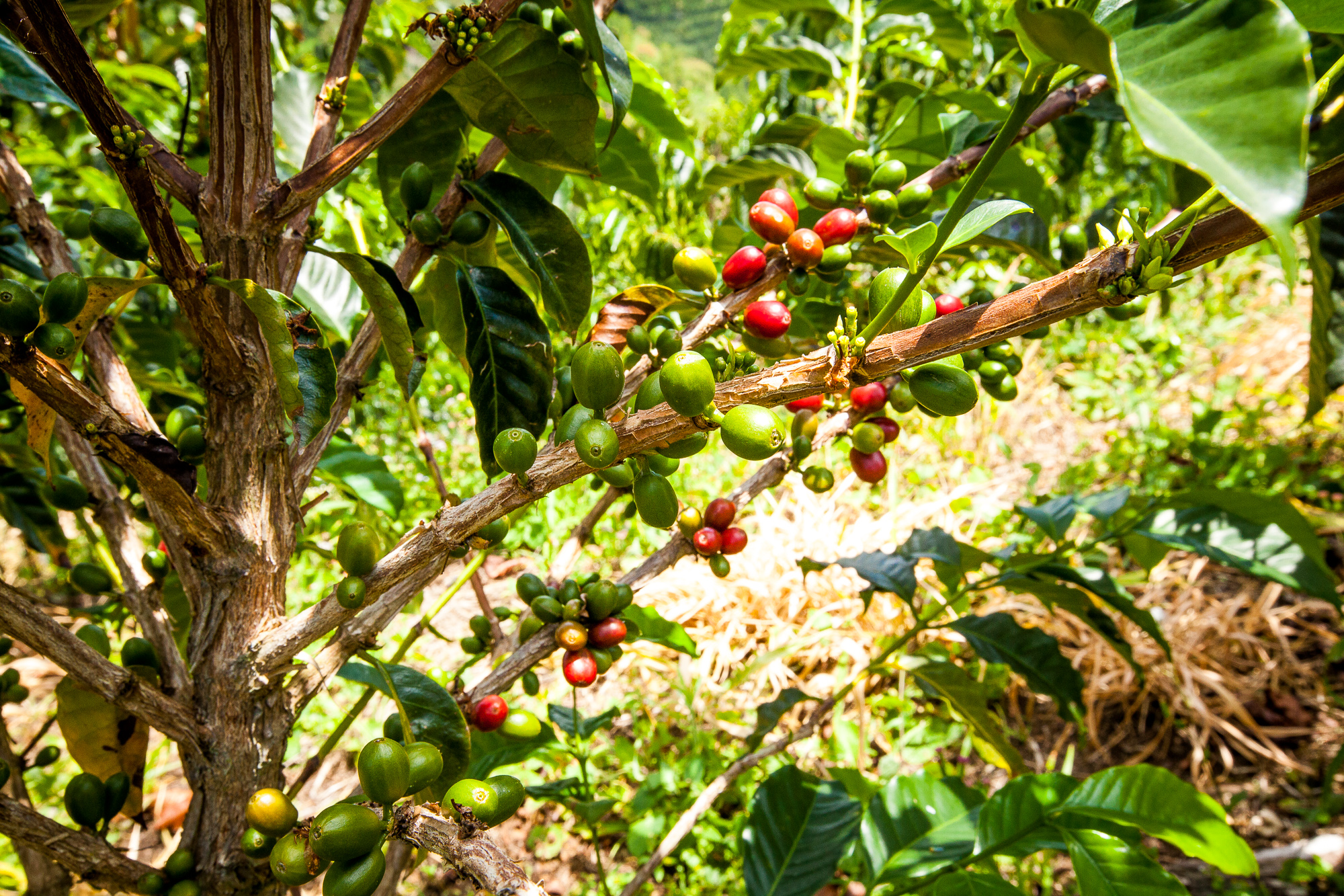 Red Condor Tolima - CQI SCORE: 84.50# 36500010 / Fully-washed / Spot / Colombia, CaturraContinental - Kearny, NJAVAILABILITY: 38 (70kg bags)