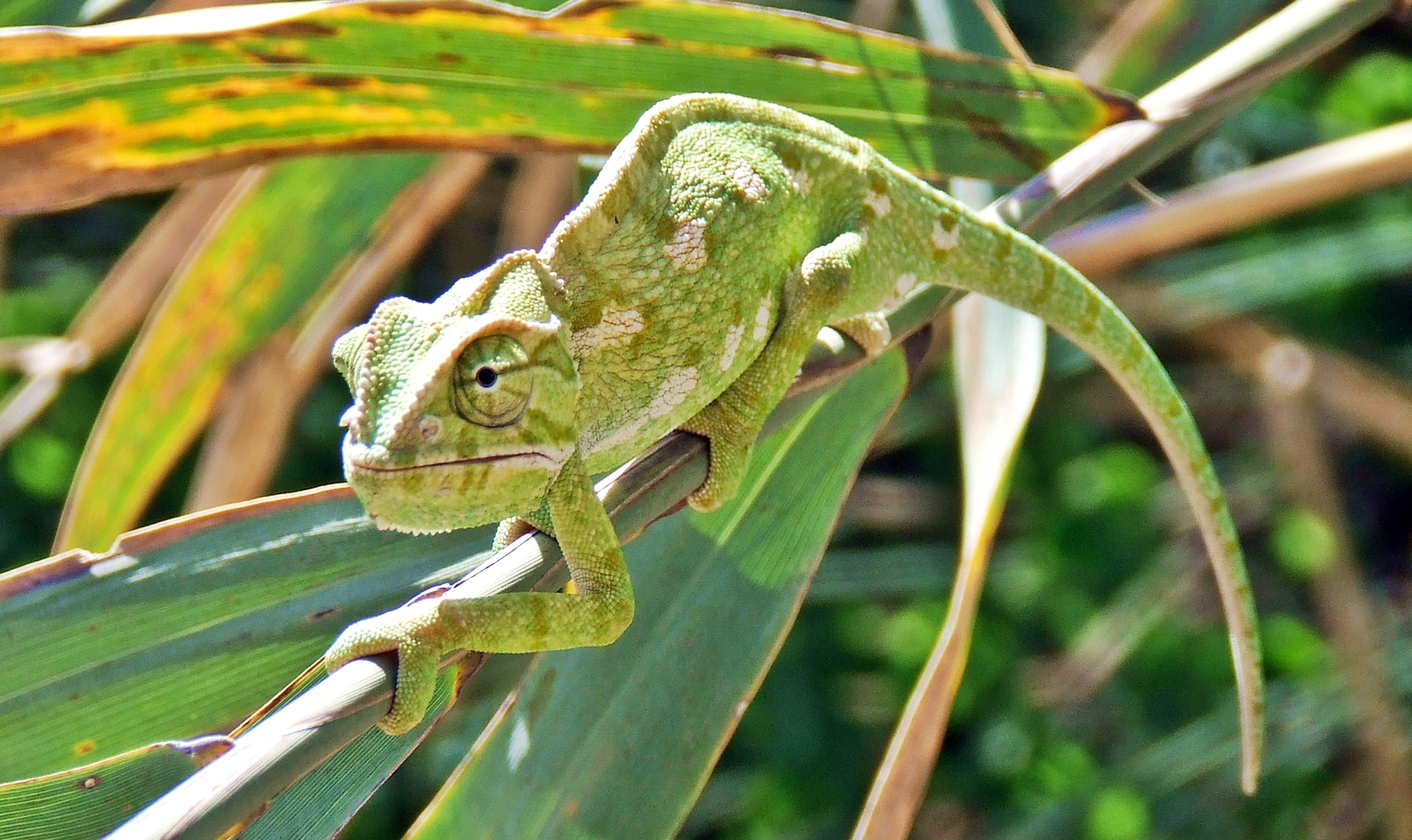 chameleon-1240928.jpg