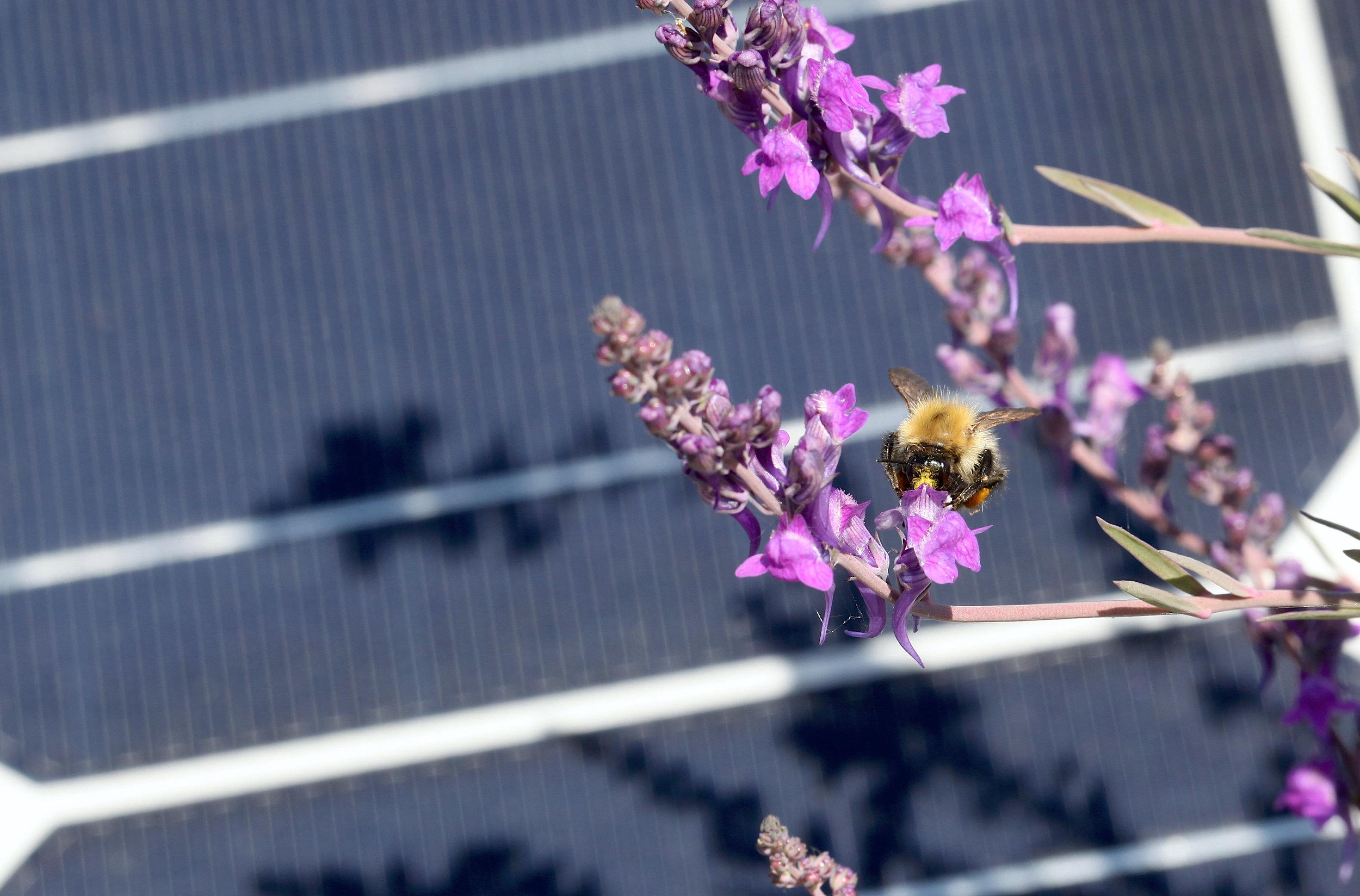 Eden Renewables Pollinator-Friendly Solar Farms 10.jpg