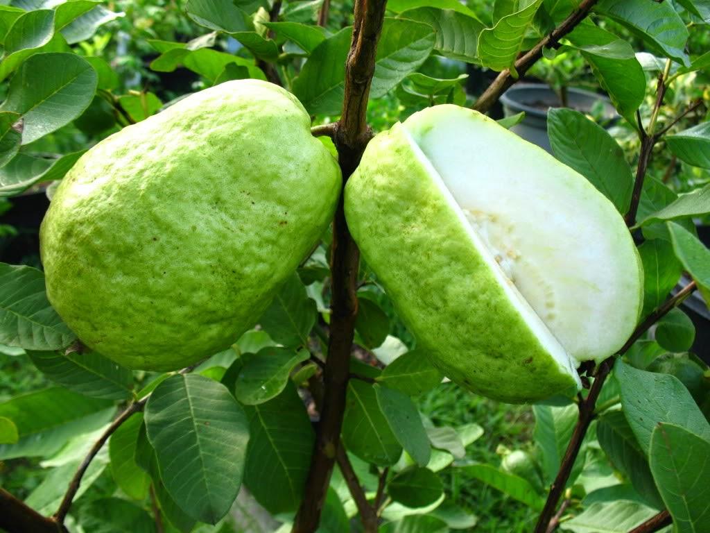 Giant Vietnamese Guava