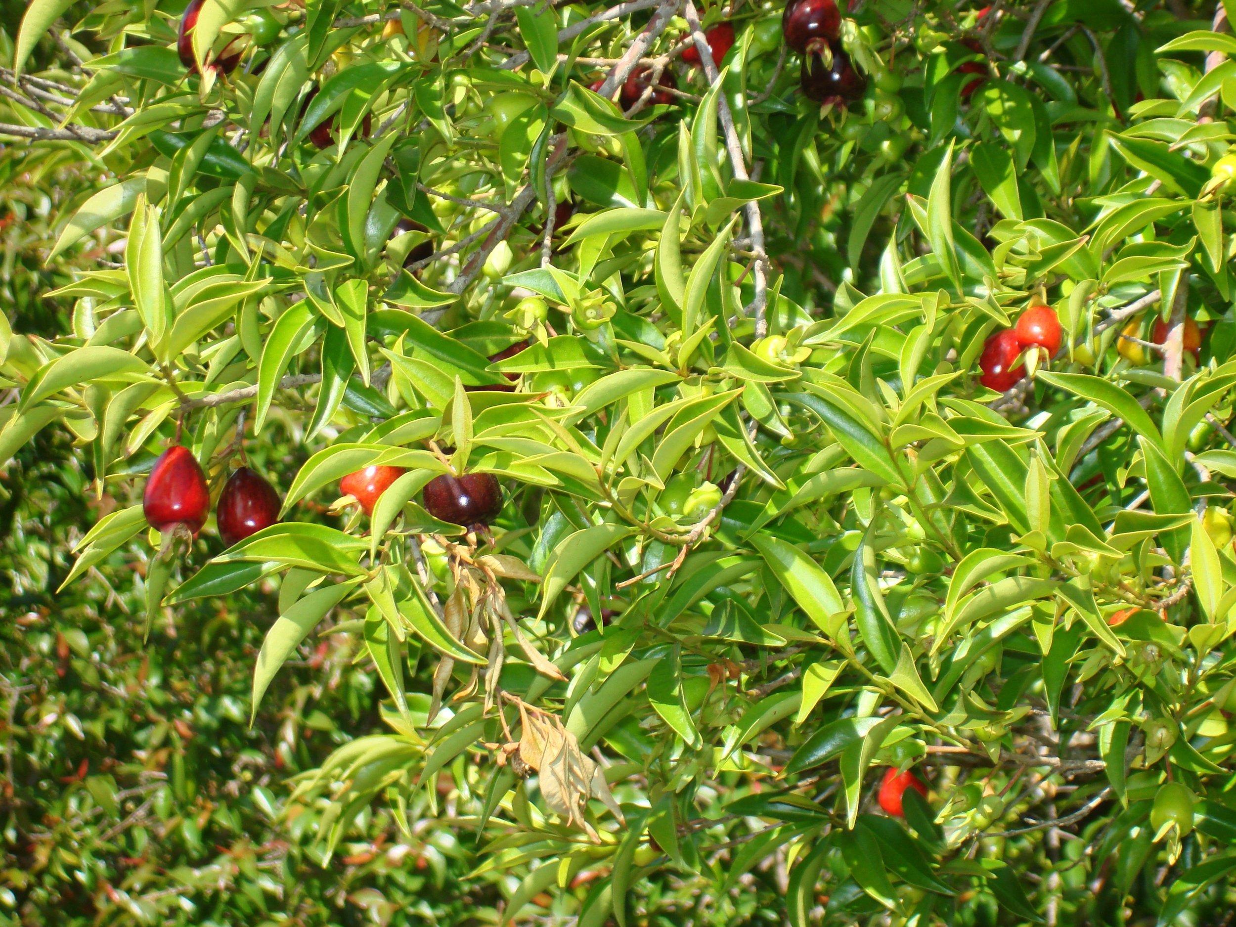 Rio GrandeBrazilian Cherry (3).JPG