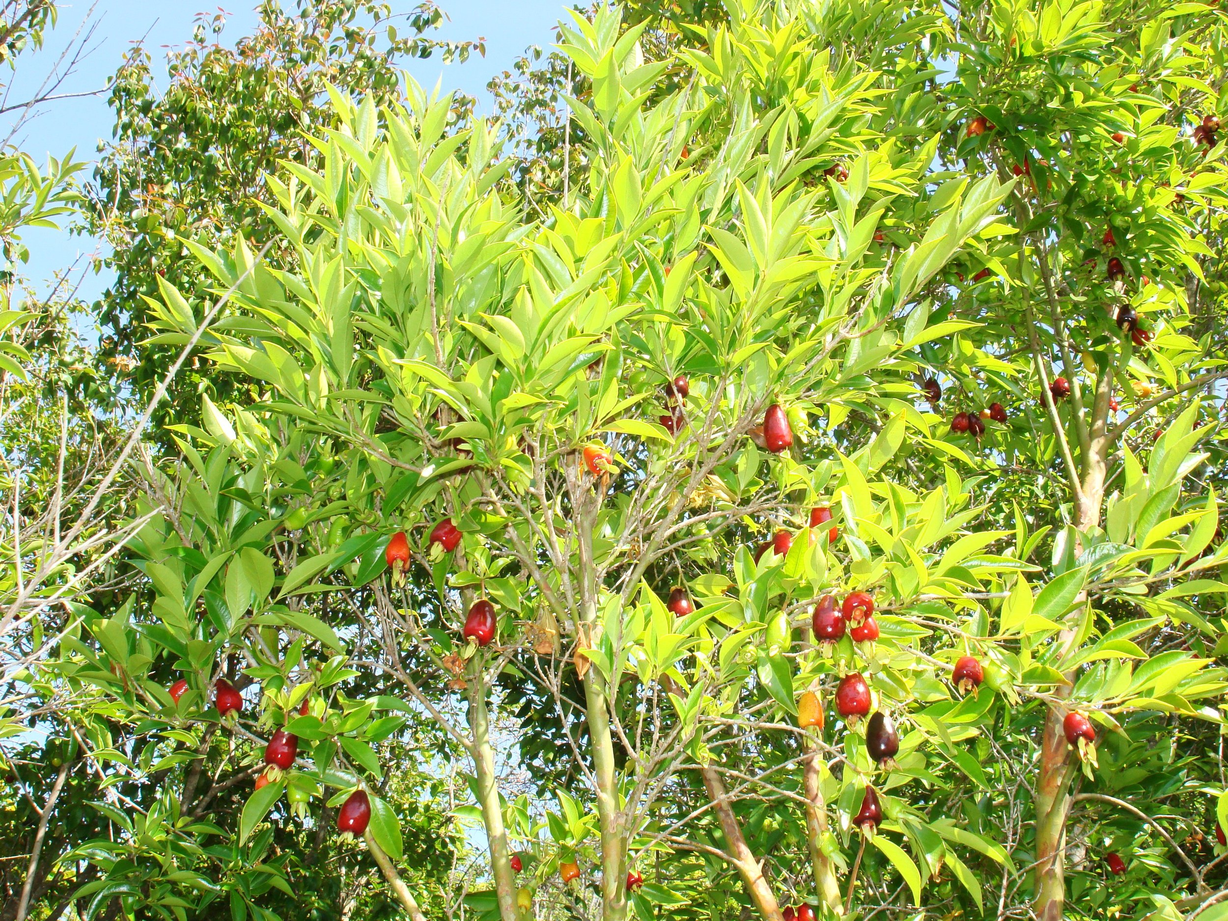 Rio GrandeBrazilian Cherry.JPG