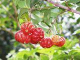 surinam cherry 3.jpg