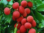 lychee (2).jpg