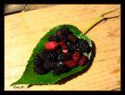 mulberry 2.jpg