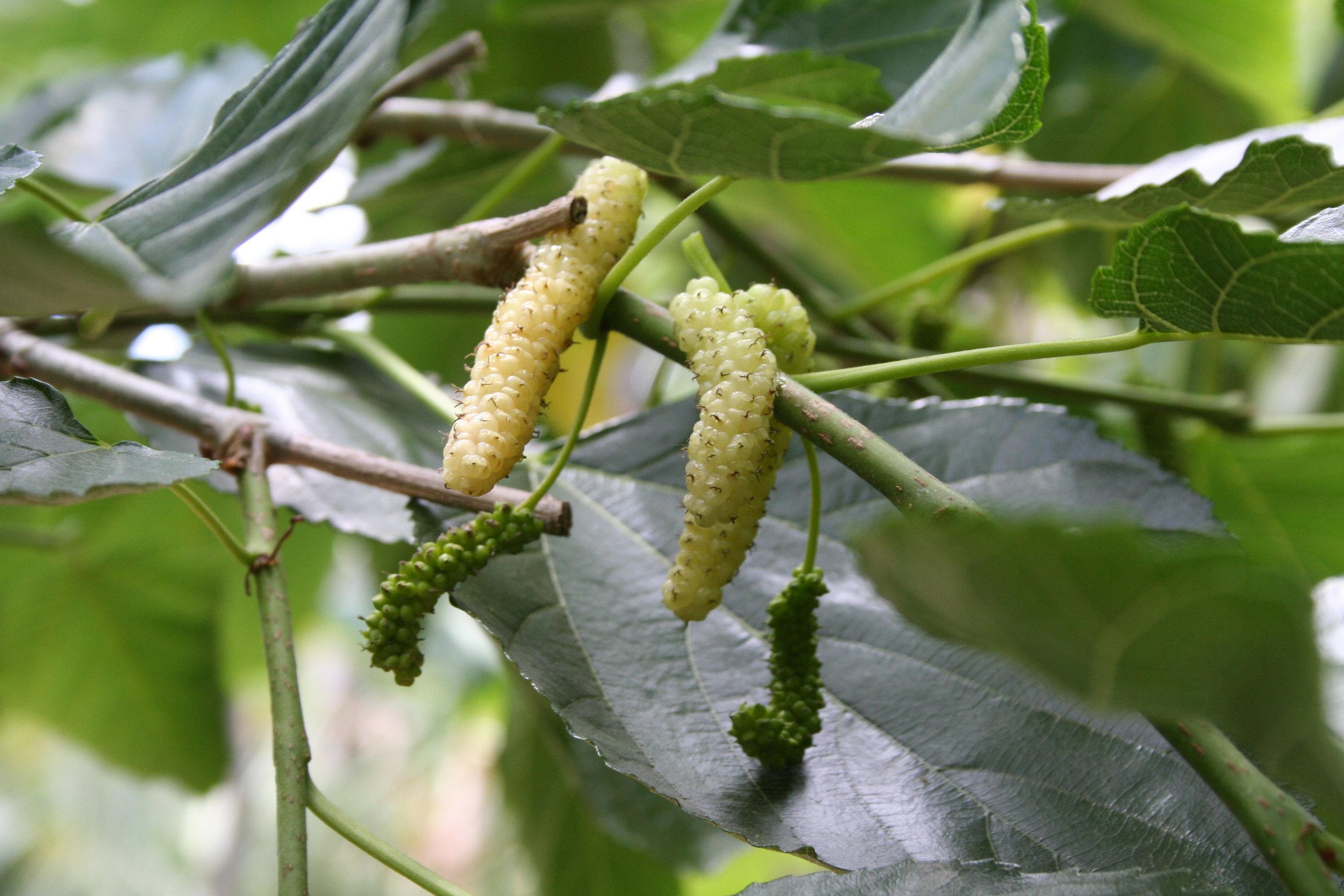 mulberry 6.JPG