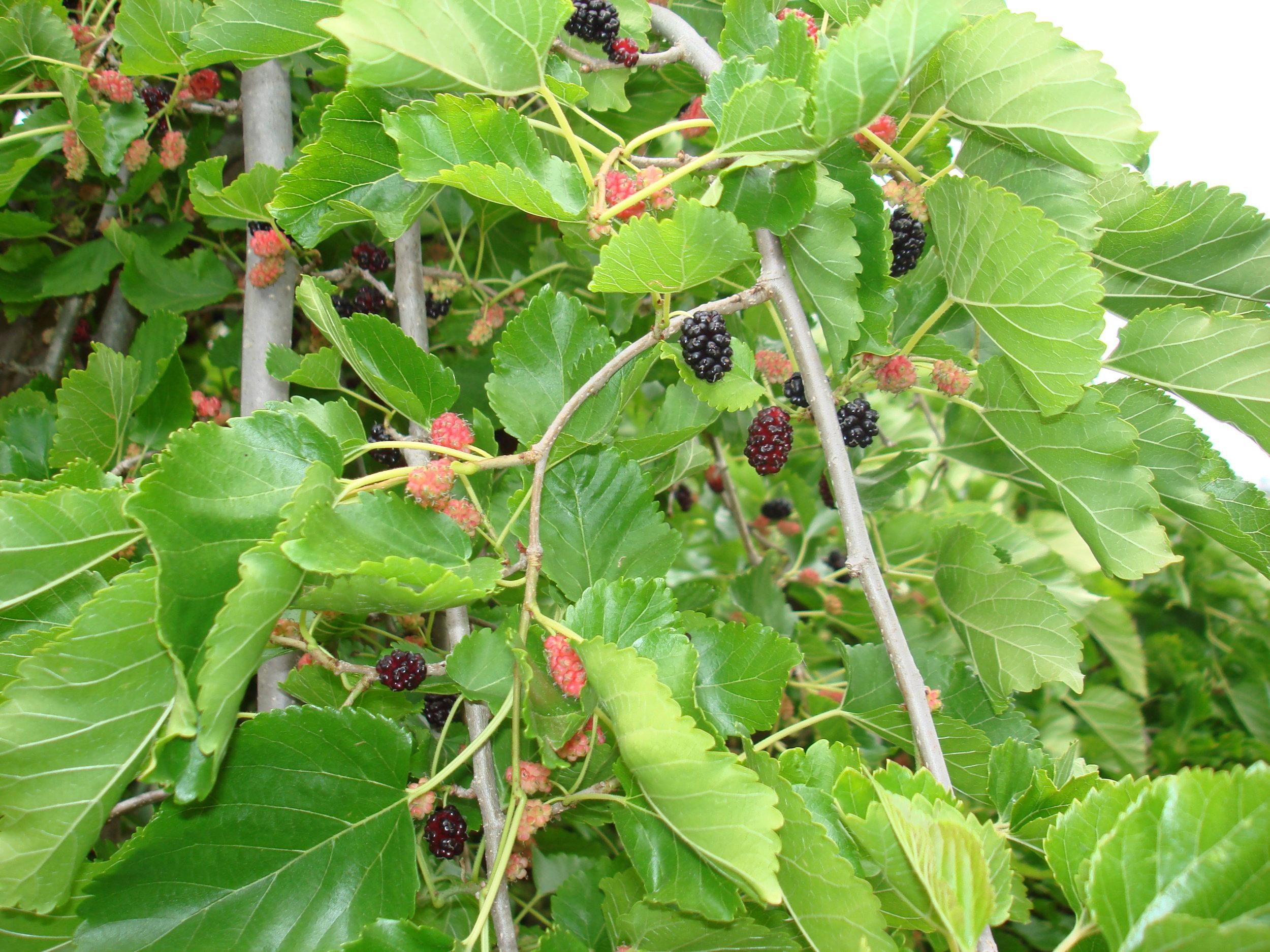 Weeping Teas Mulberry (4).JPG