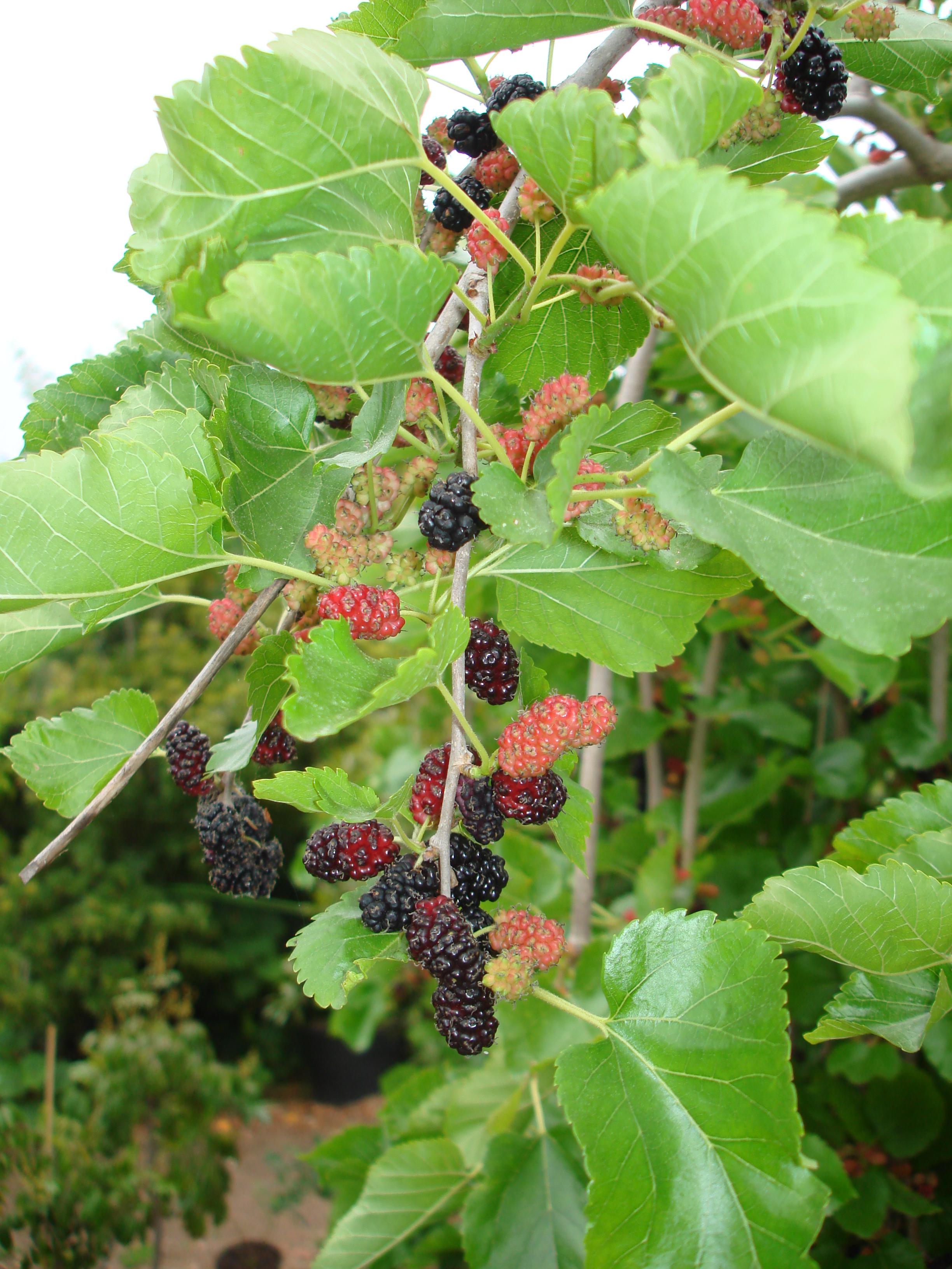 Weeping Teas Mulberry (5).JPG