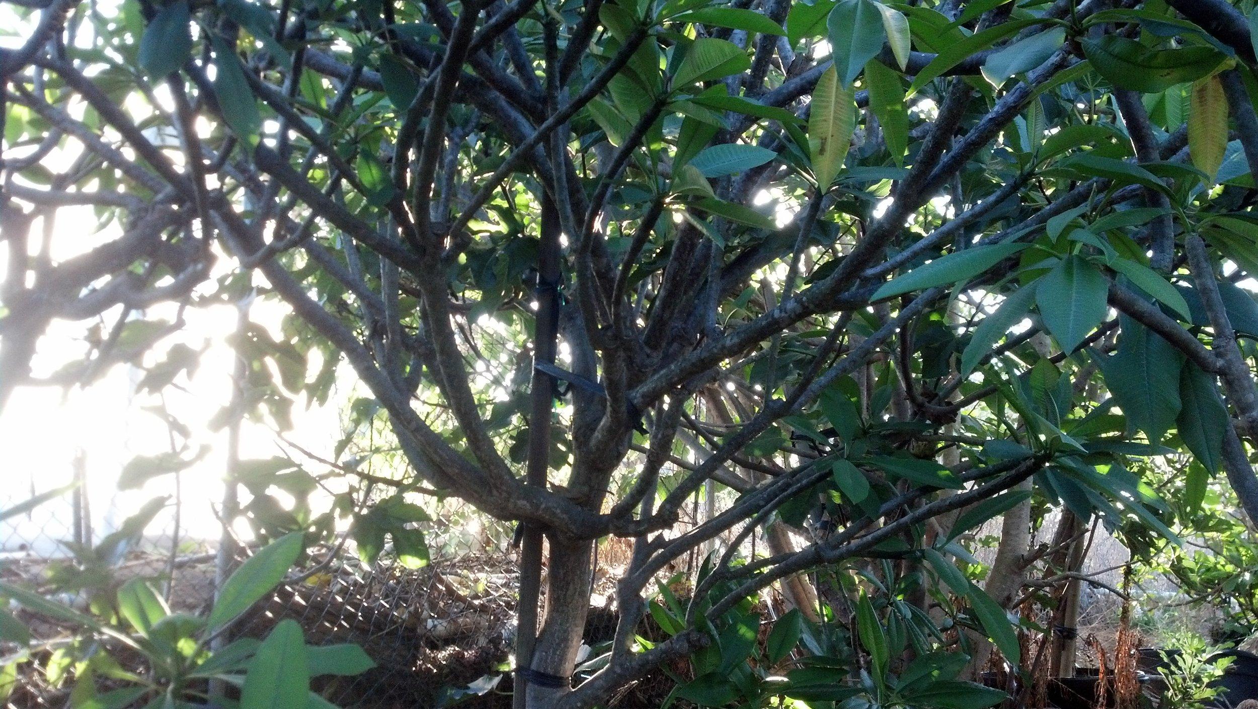 Plumeria 6.jpg