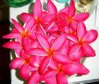 plumeria pink 9.jpg