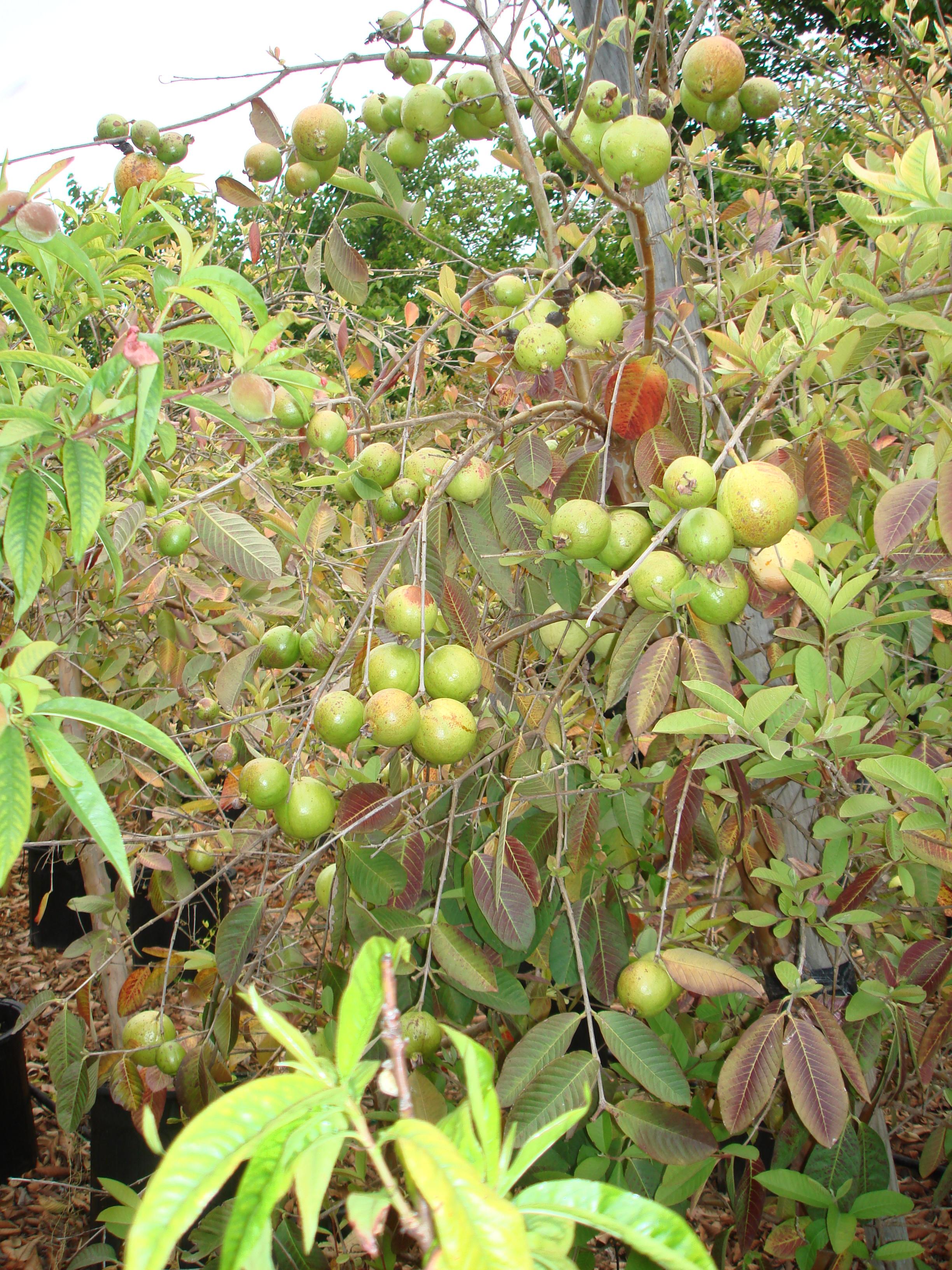 Guava (2).JPG
