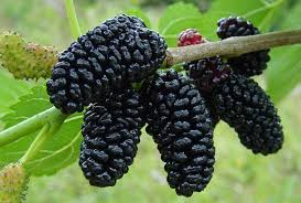persian-black-mulberry.jpg