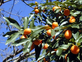 california-tropical-nagami-kumquat.jpg