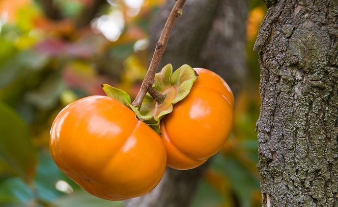 california-tropical-jiro-fuyu-persimmon.jpg
