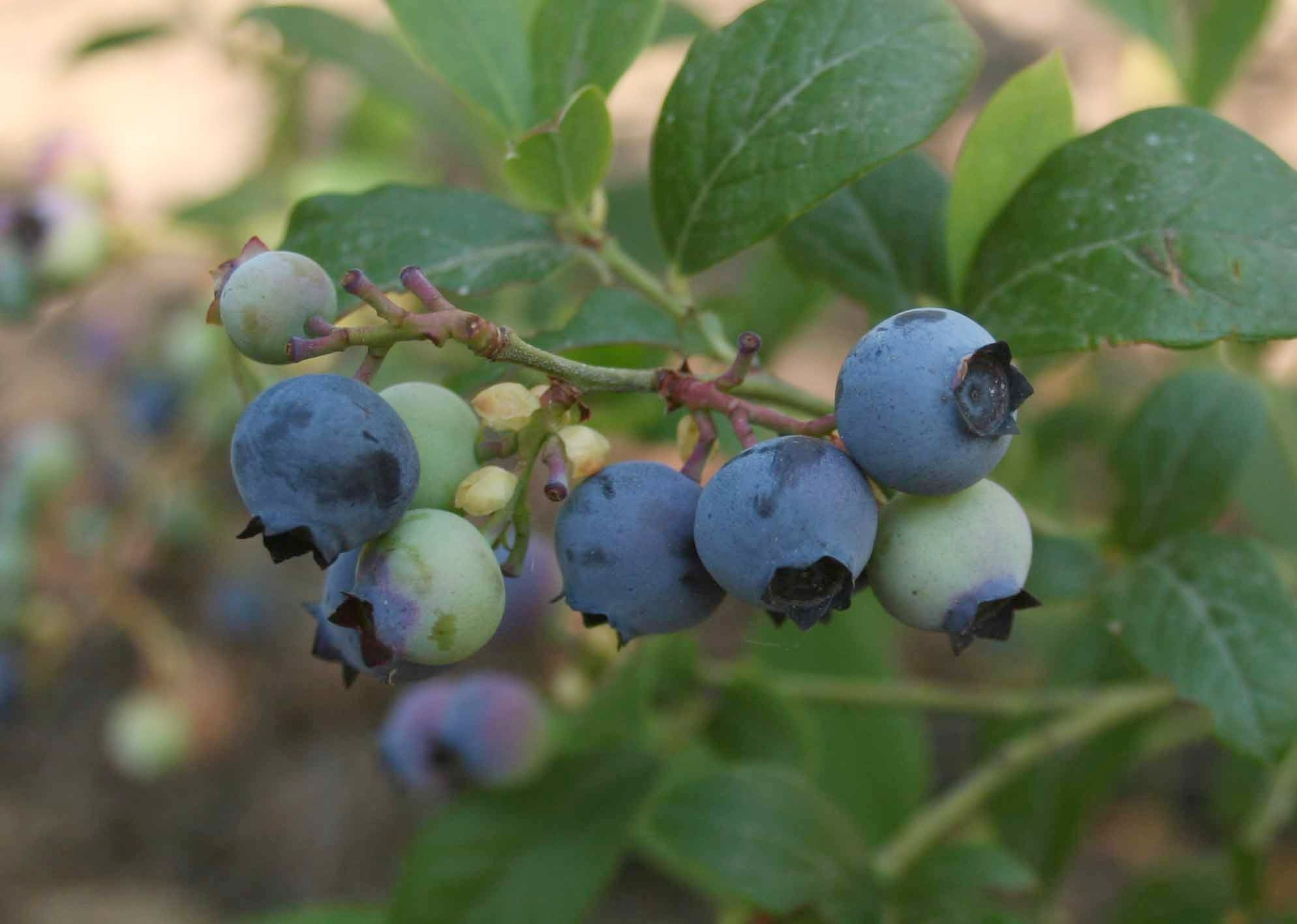 california-tropical-oneal-blueberry.jpg