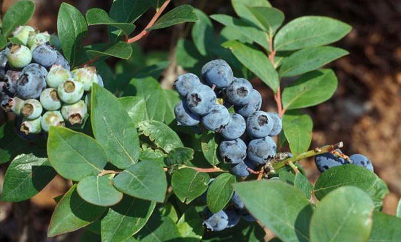 california-tropical-jewel-blueberry.jpg