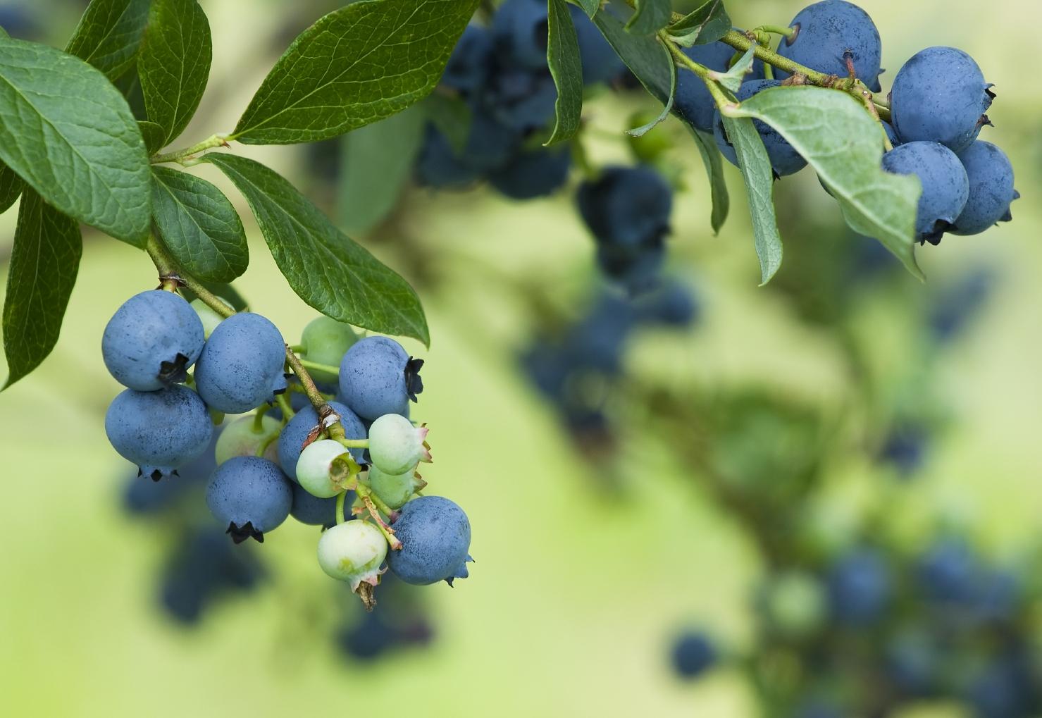 california-tropical-misty-blueberry.jpg