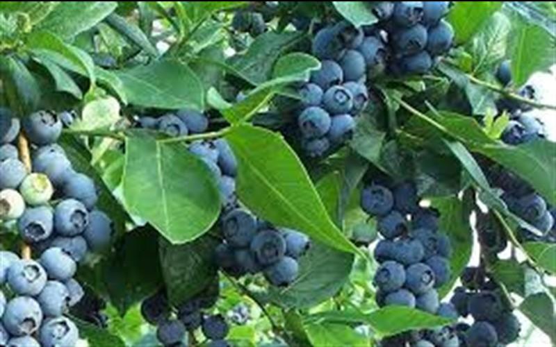 california-tropical-jubilee-blueberry.jpg