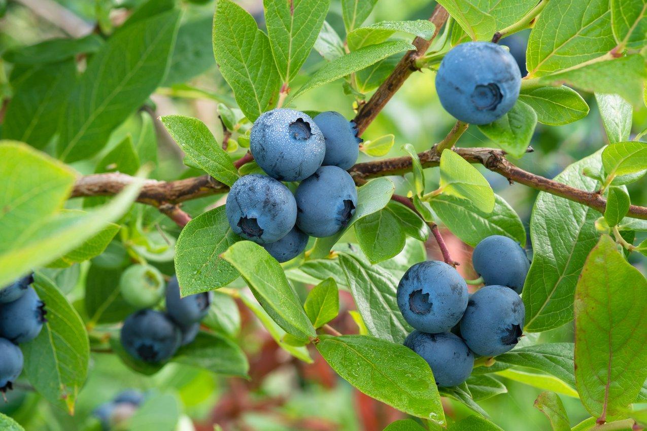 california-tropical-southmoon-blueberry.jpg