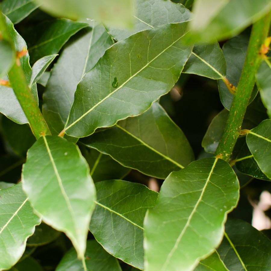 california-tropical-bay-leaf-2.jpg