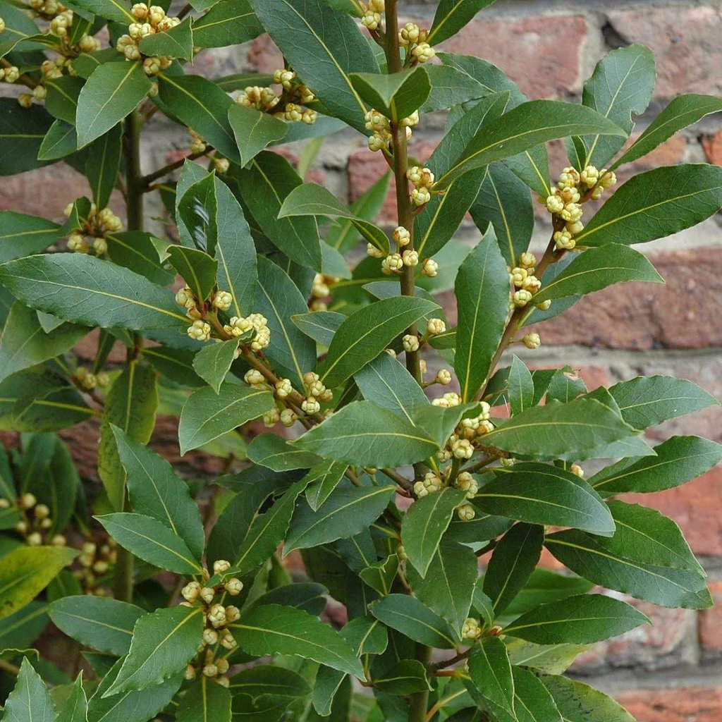 california-tropical-bay-leaf-3.jpeg