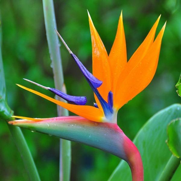 california-tropical-strelitzia-reginae-1.jpg