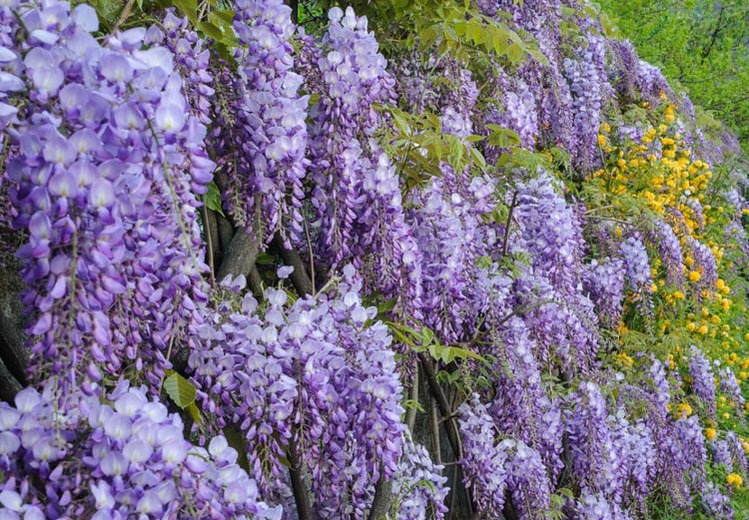 california-tropical-wisteria-purple-1.jpg
