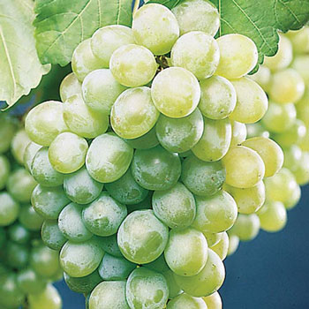 california-tropical-himrod-grape-1.jpg