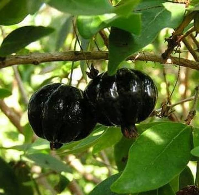 california-tropical-surinam-lolita-cherry-2.jpg