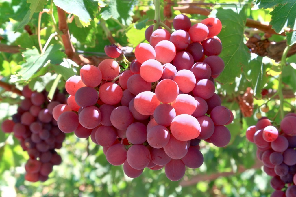 california-tropical-crimson-grape-1.jpg