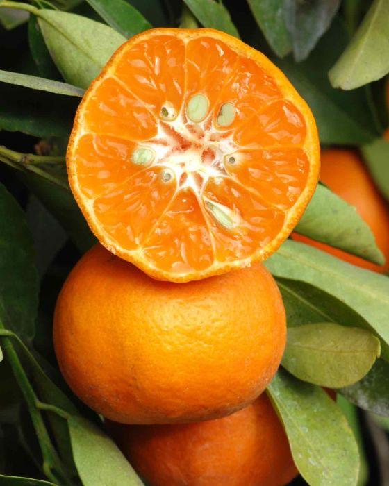 california-tropical-dancy-tangerine-1.jpg