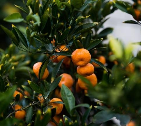 california-tropical-kishu-mandarin-2.jpg