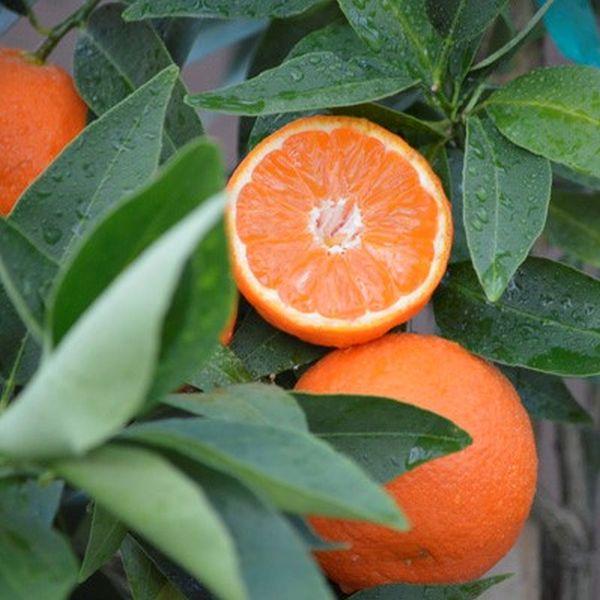 california-tropical-page-mandarin-1.jpg