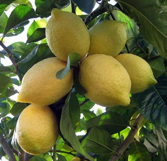 california-tropical-lisbon-lemon-1.jpg