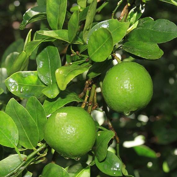 california-tropical-mexican-lime-1.jpg