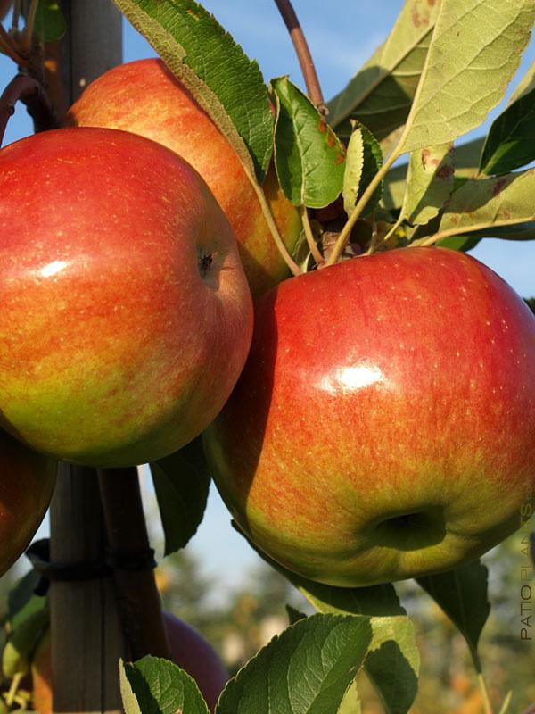 california-tropical-anna-apple-1.jpg