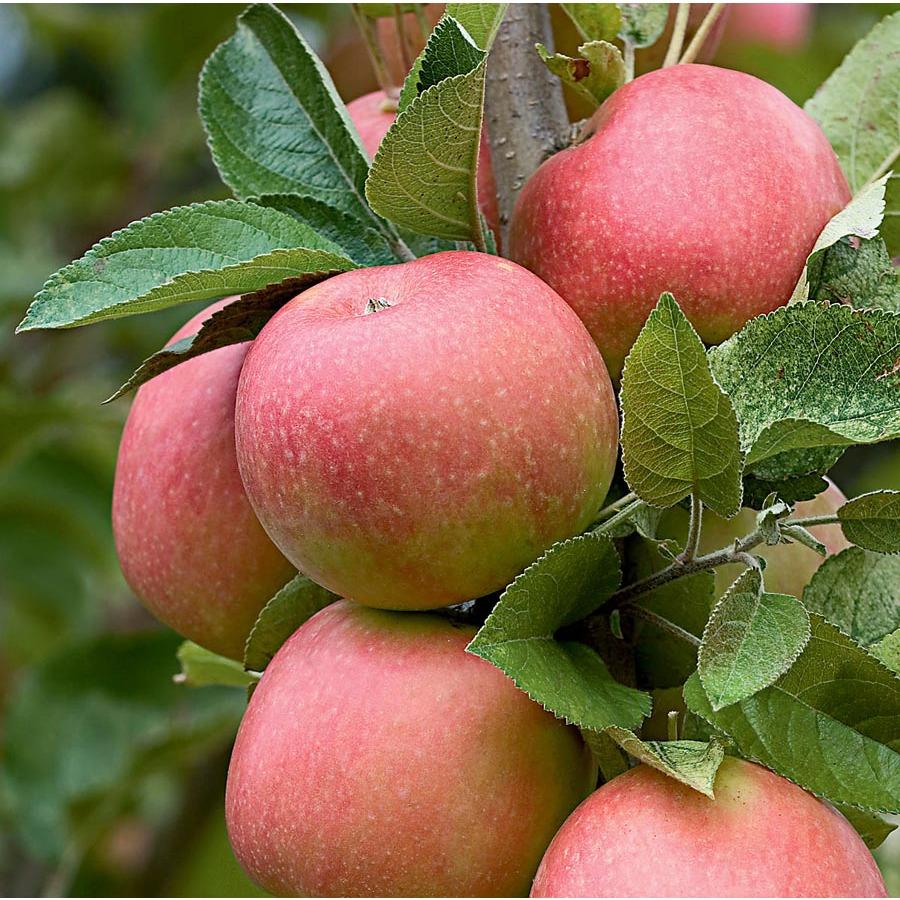 california-tropical-pink-lady-apple-1.jpg