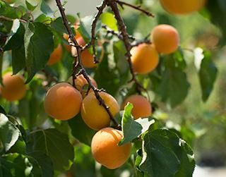 california-tropical-blenheim-apricot-1.jpg