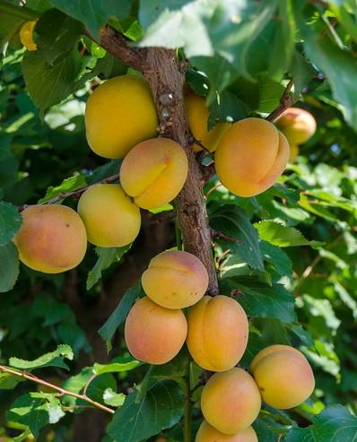 california-tropical-katy-apricot-1.jpg