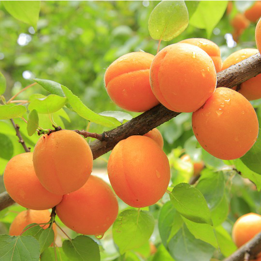 california-tropical-royal-apricot-1.jpg