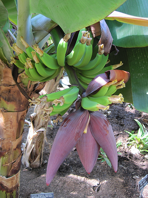 california-tropical-enano-gigante-banana-1.jpg