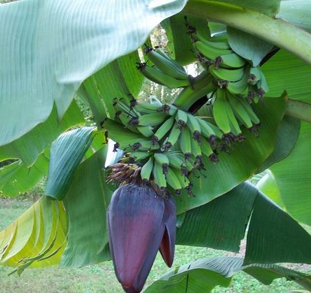 california-tropical-raja-puri-banana-1.jpg