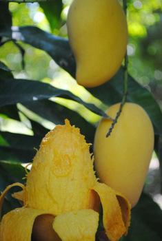 california-tropical-ataulfo-mango-1.jpg