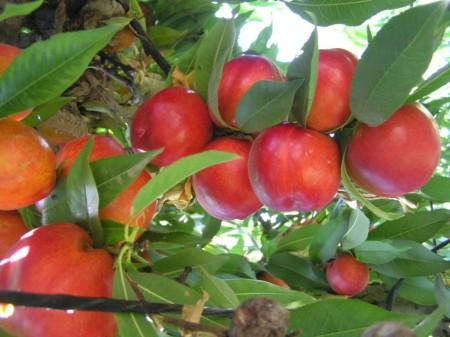california-tropical-sun-red-nectarine-1.jpg