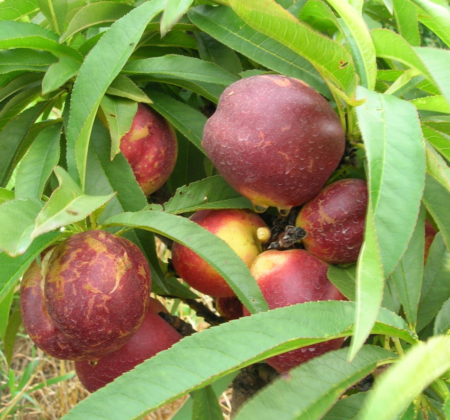 california-tropical-nectar-babe-miniature-nectarine-1.JPG