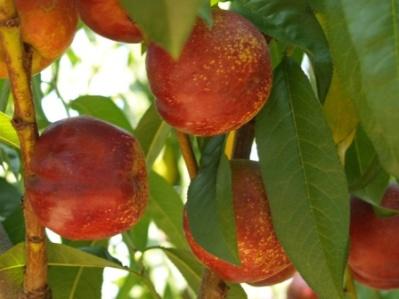 california-tropical-panamint-nectarine-1.jpg