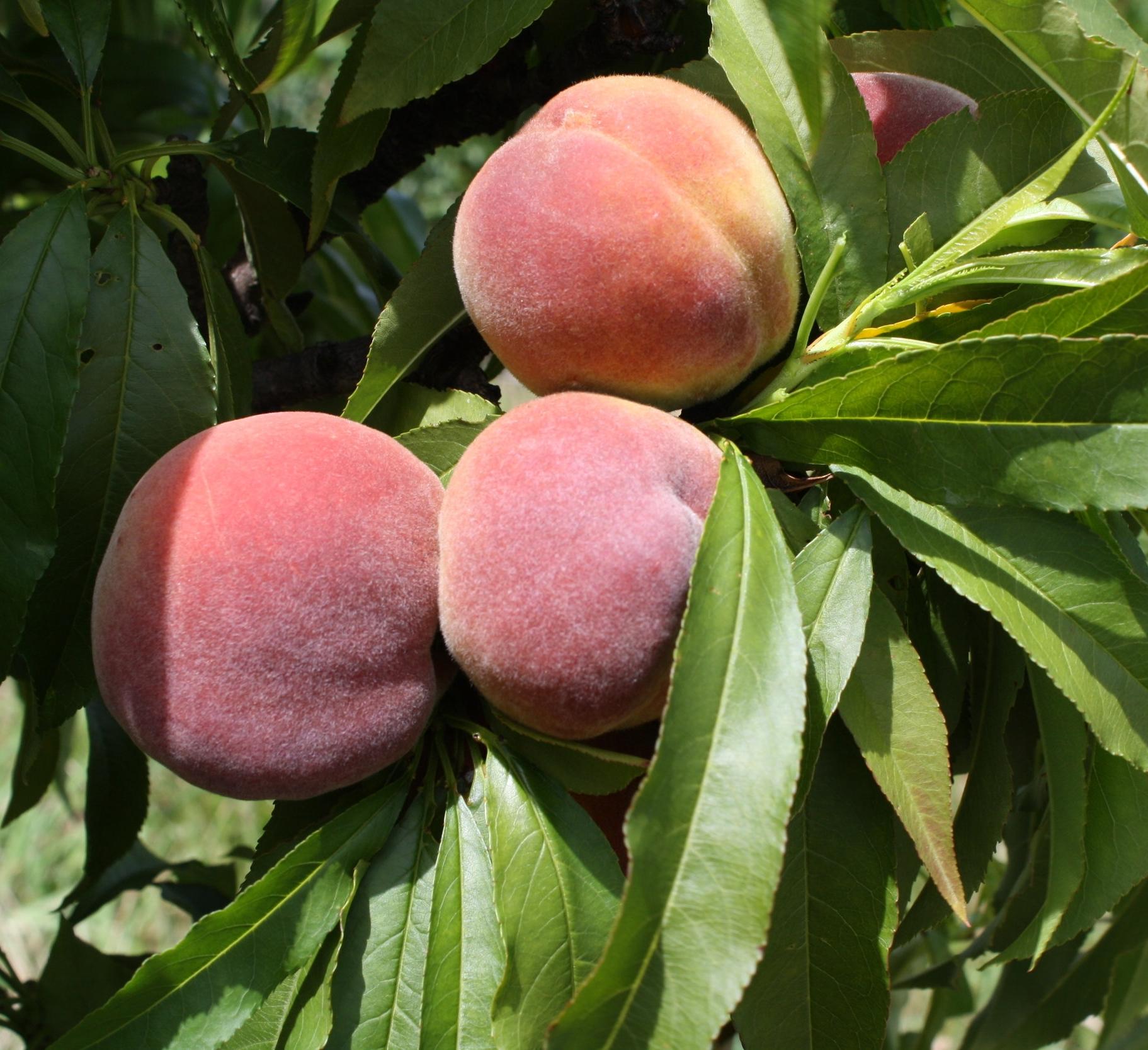 california-tropical-honey-babe-miniature-peach-1.JPG